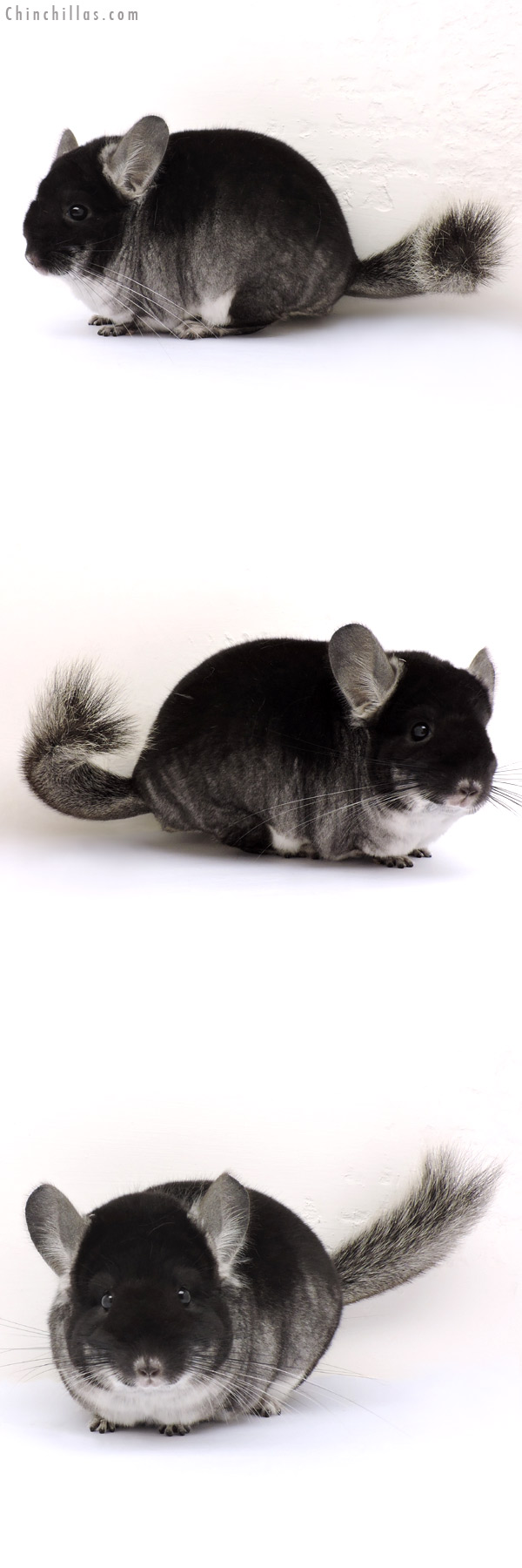 14184 Show Quality Black Velvet ( Violet Carrier ) Female Chinchilla