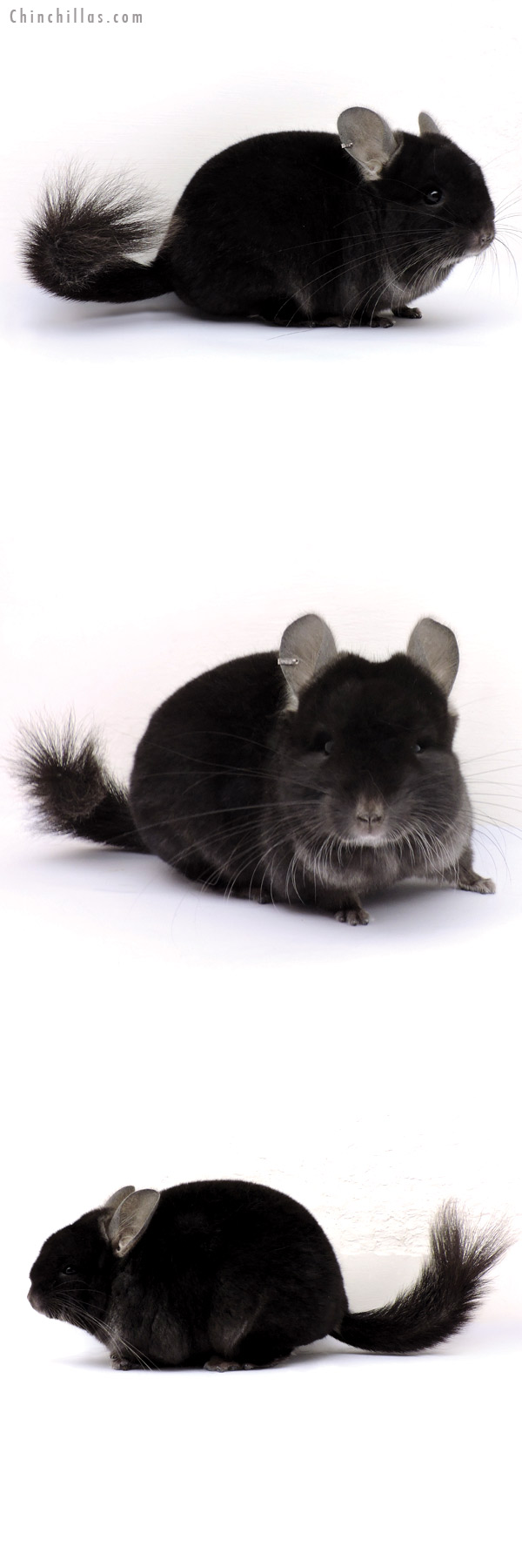 14354 Exceptional TOV Ebony ( CCCU Royal Persian Angora Carrier ) Female Chinchilla