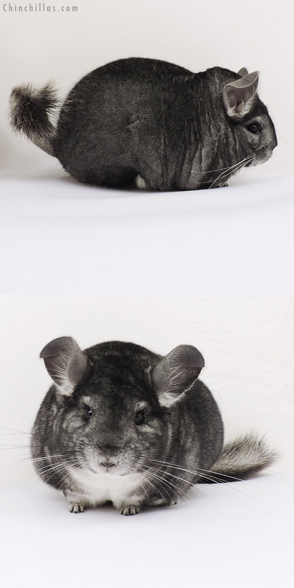 15085 Premium Production Quality Standard Female Chinchilla