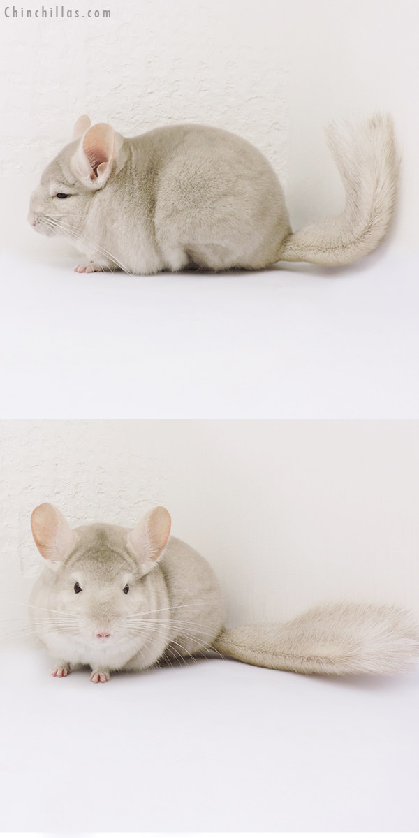 15126 Show Quality Homo Beige Female Chinchilla