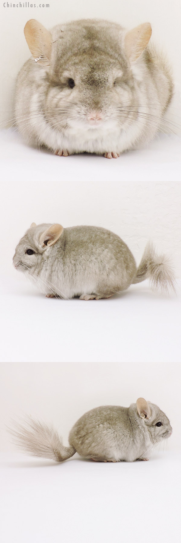 15227 Exceptional Beige CCCU Royal Persian Angora Male Chinchilla