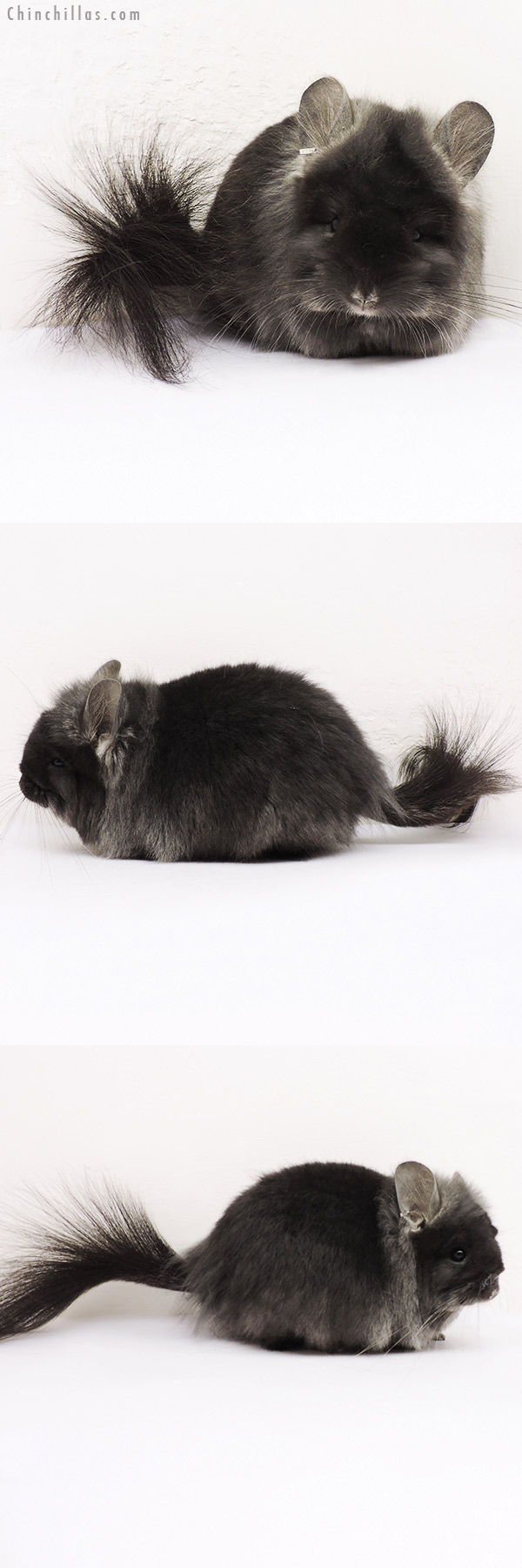 15252 TOV Ebony G2 CCCU Royal Persian Angora Female Chinchilla
