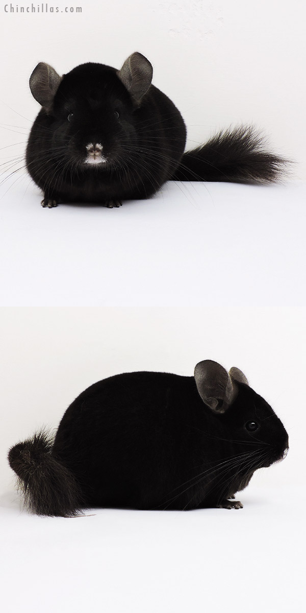 15290 Large Blocky Premium Production Quality Ebony Female Chinchilla