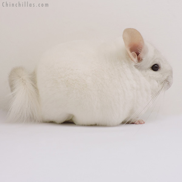 15321 Large Show Quality Pink White Male Chinchilla