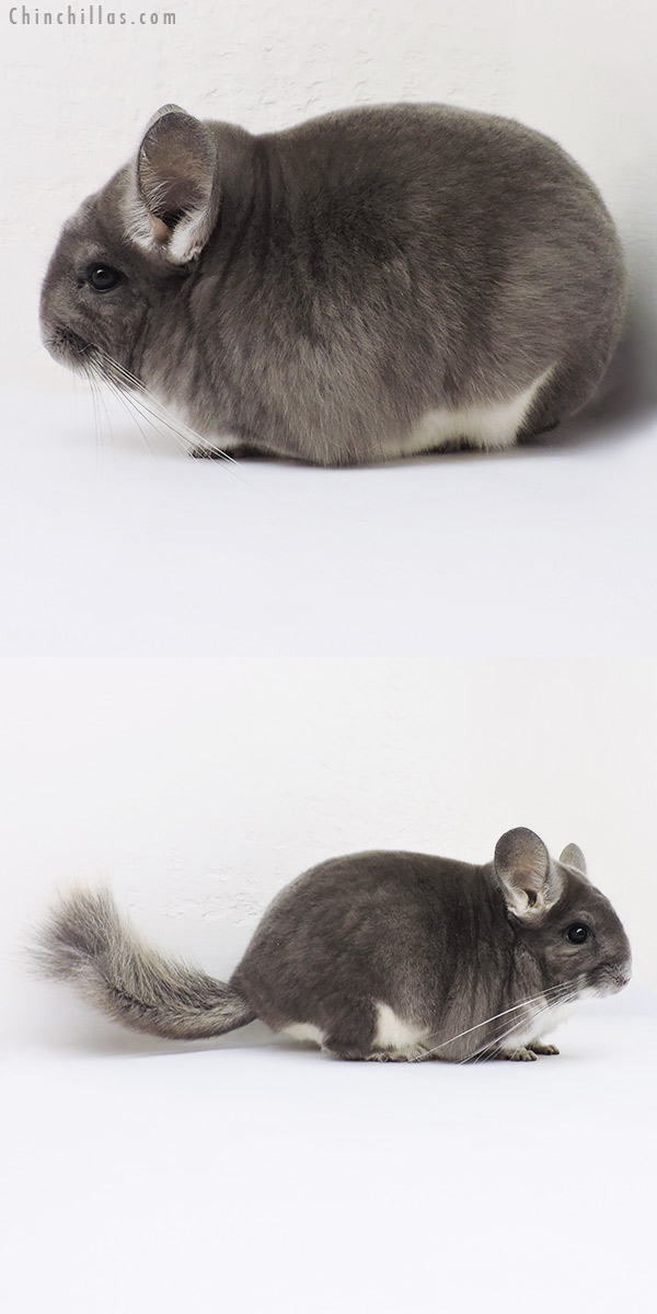 15325 Top Show Quality Violet Male Chinchilla