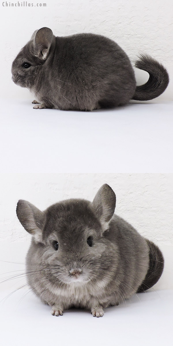 15328 Blocky Show Quality Light Wrap Around Violet Female Chinchilla