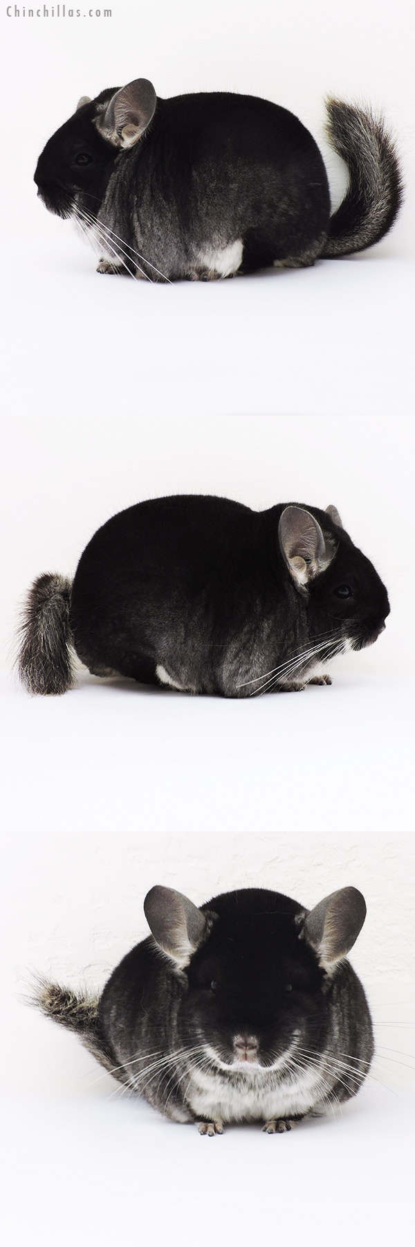 15354 Blocky Brevi Type Show Quality Black Velvet Male Chinchilla