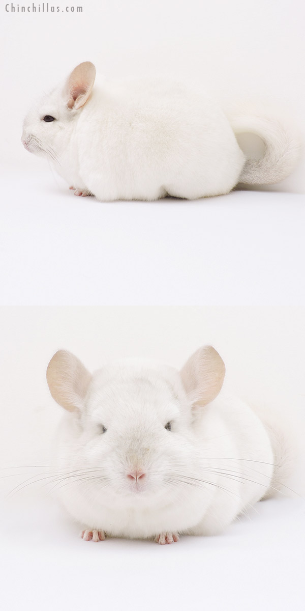 15356 Premium Production Quality Pink White Female Chinchilla