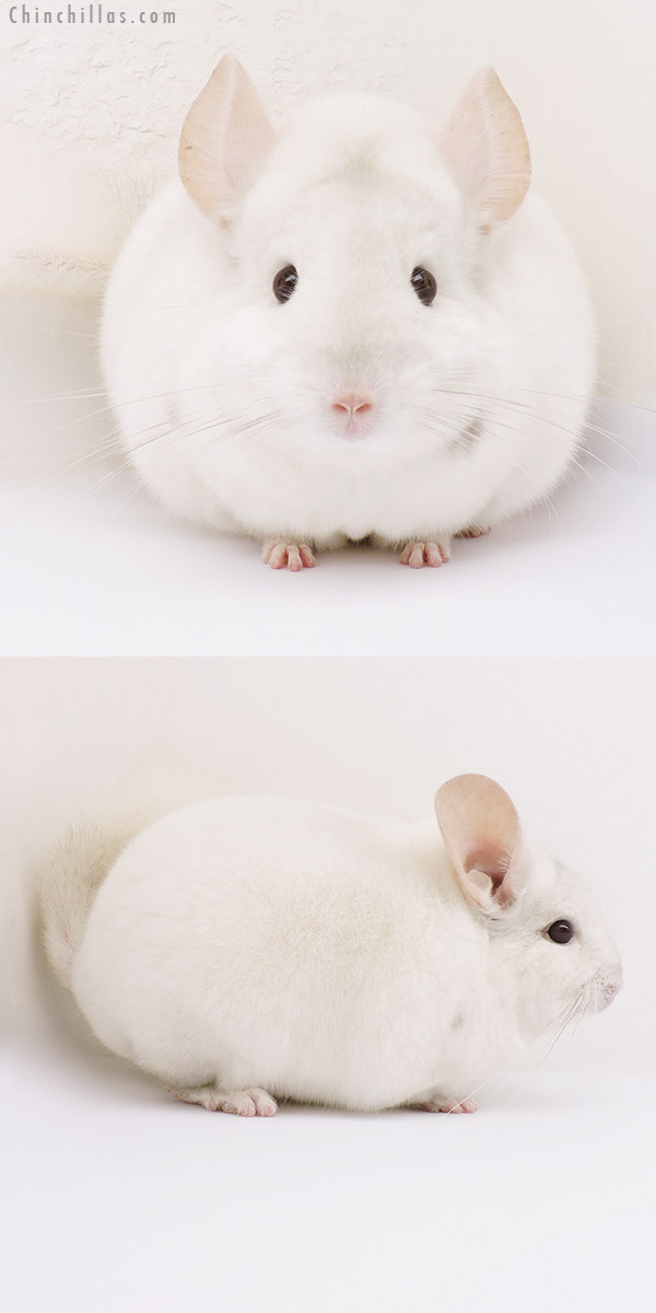 15353 Large Herd Improvement Quality Pink White Male Chinchilla