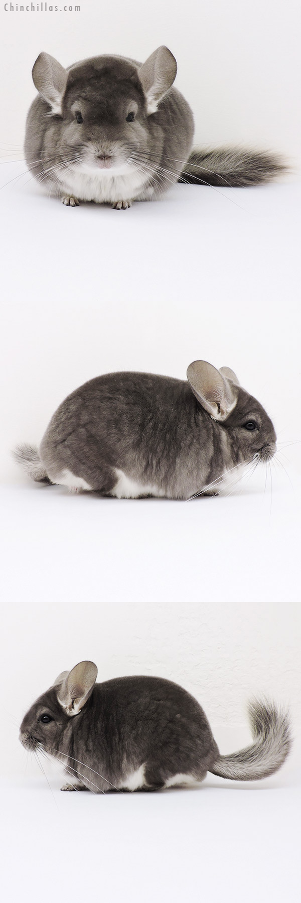 16004 Large Show Quality Violet Male Chinchilla
