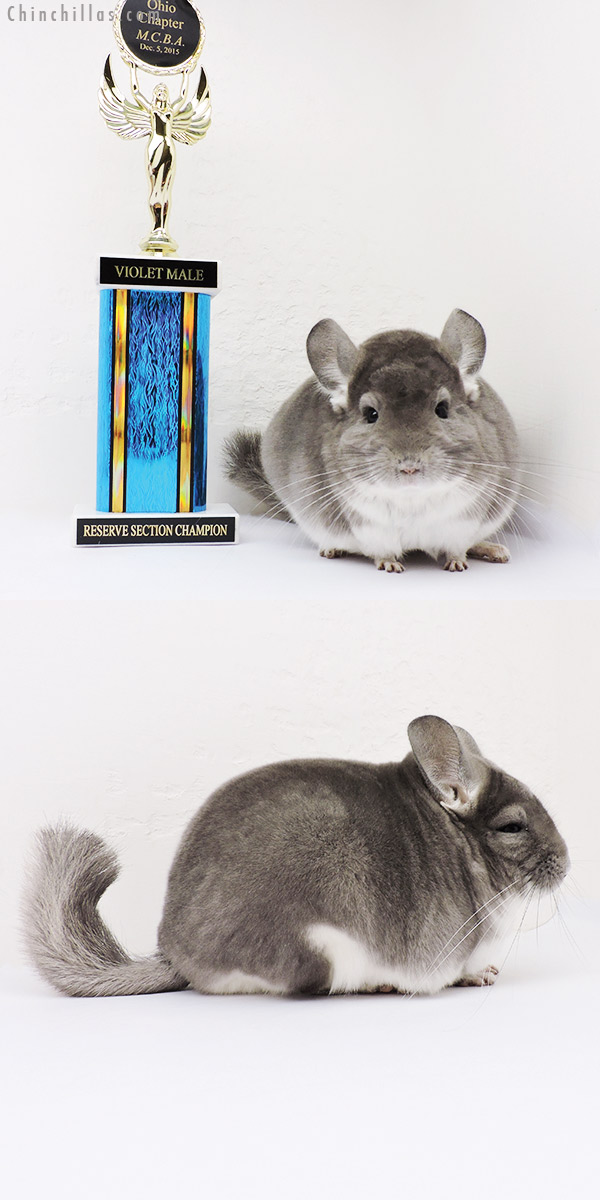 16007 Reserve Section Champion Violet Male Chinchilla