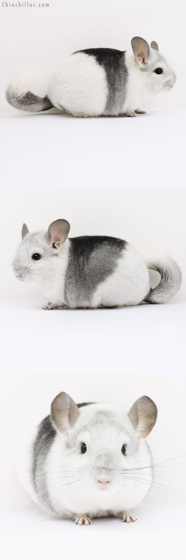 16040 Premium Production Quality Extreme Mosaic Female Chinchilla