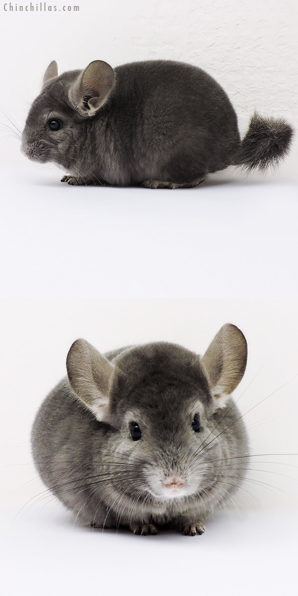 16046 Show Quality Wrap Around Violet Female Chinchilla