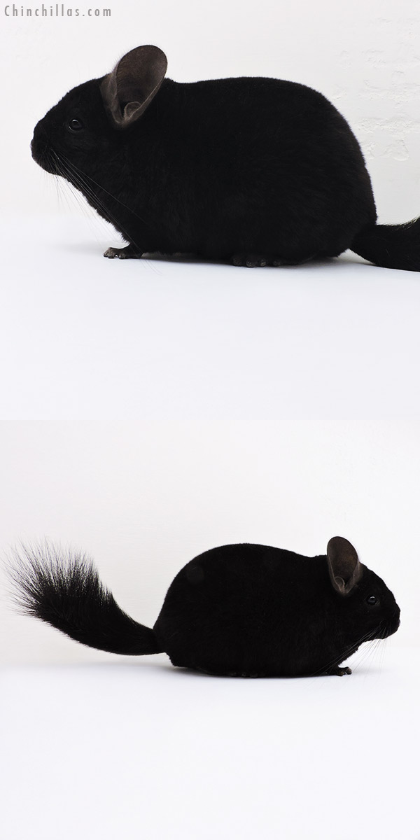 16060 Premium Production Quality Ebony Female Chinchilla