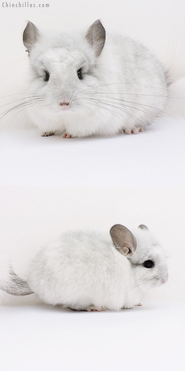 16132 White Mosaic CCCU Royal Persian Angora Male Chinchilla