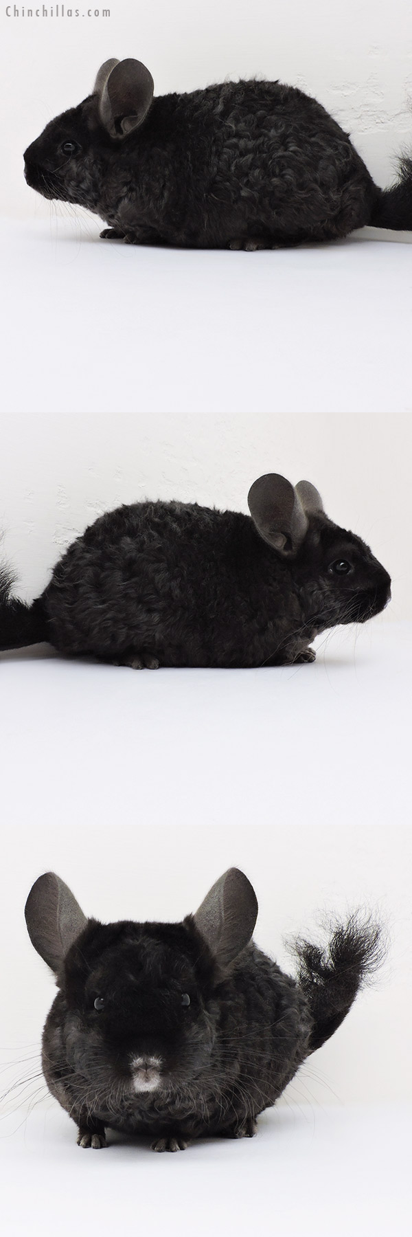 16182 Extra Curly Full Locken Female Chinchilla