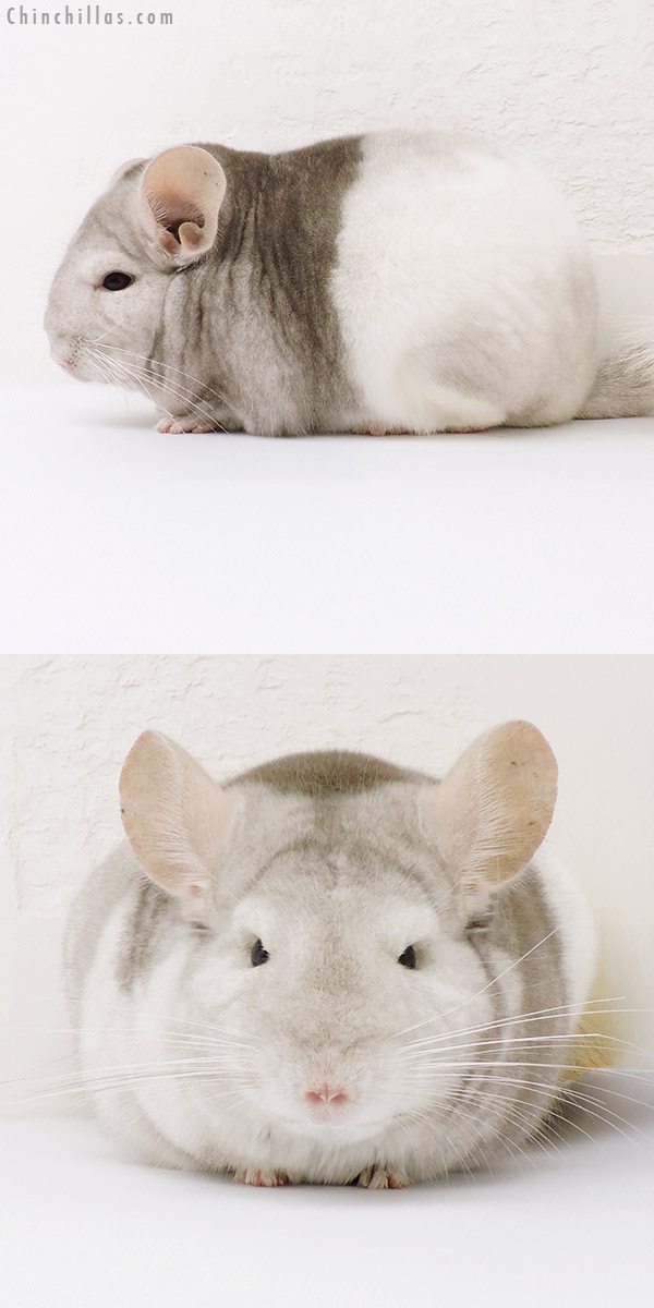 16231 Premium Production Quality Tri Tone Extreme Beige & White Mosaic Female Chinchilla