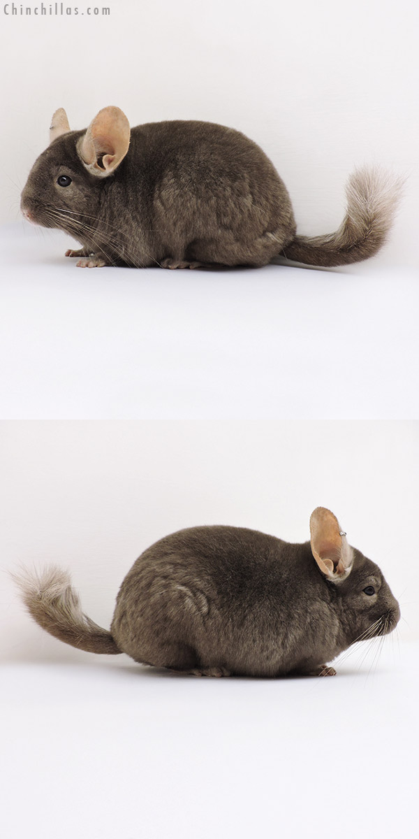 16236 Large Show Quality Tan Female Chinchilla