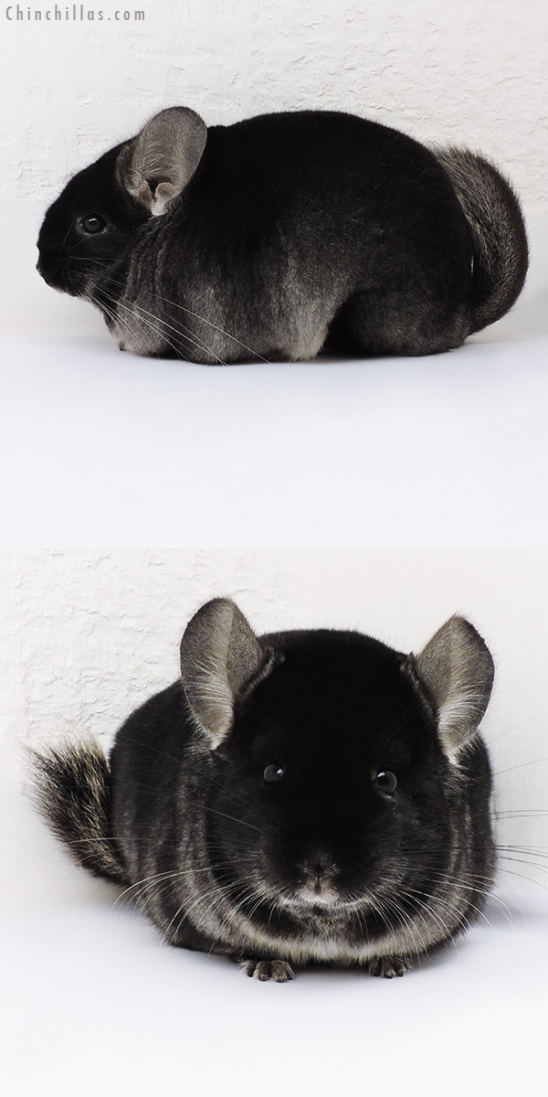 16276 Large Premium Production Quality TOV Ebony Female Chinchilla