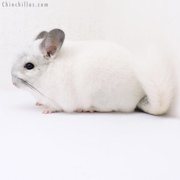 16321 Show Quality Predominantly White Female Chinchilla