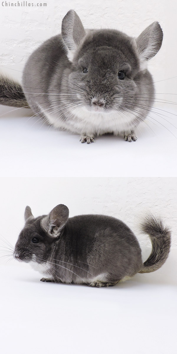 16353 Premium Production Quality TOV Violet Female Chinchilla