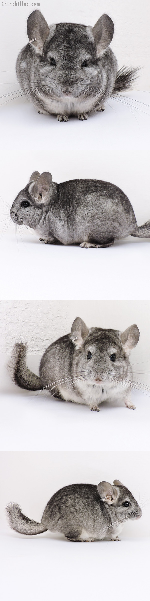 16356 & 16365 Standard (CCCU Royal Persian Angora & Violet Carrier) Pair Chinchilla