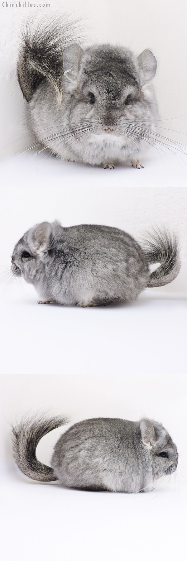 16318 Standard ( Violet Carrier ) CCCU Royal Persian Angora Female Chinchilla