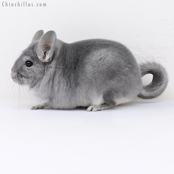17055 Large Top Show Quality Blue Diamond Male Chinchilla