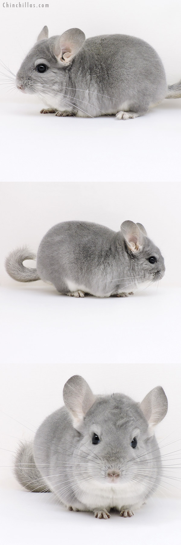 17074 Premium Production Quality Blue Diamond Female Chinchilla
