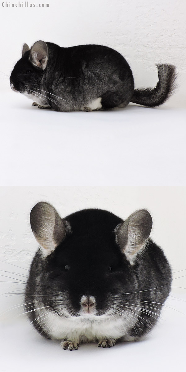 17067 Large Blocky Show Quality Black Velvet Male Chinchilla