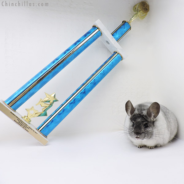 17069 Reserve Grand Show Champion XXL White Mosaic Male Chinchilla