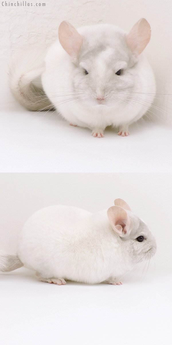 17106 Blocky Show Quality Pink White Male Chinchilla