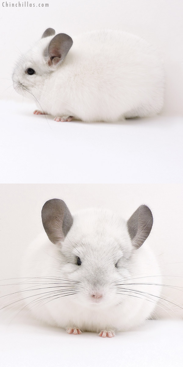 17122 Show Quality Predominantly White Female Chinchilla