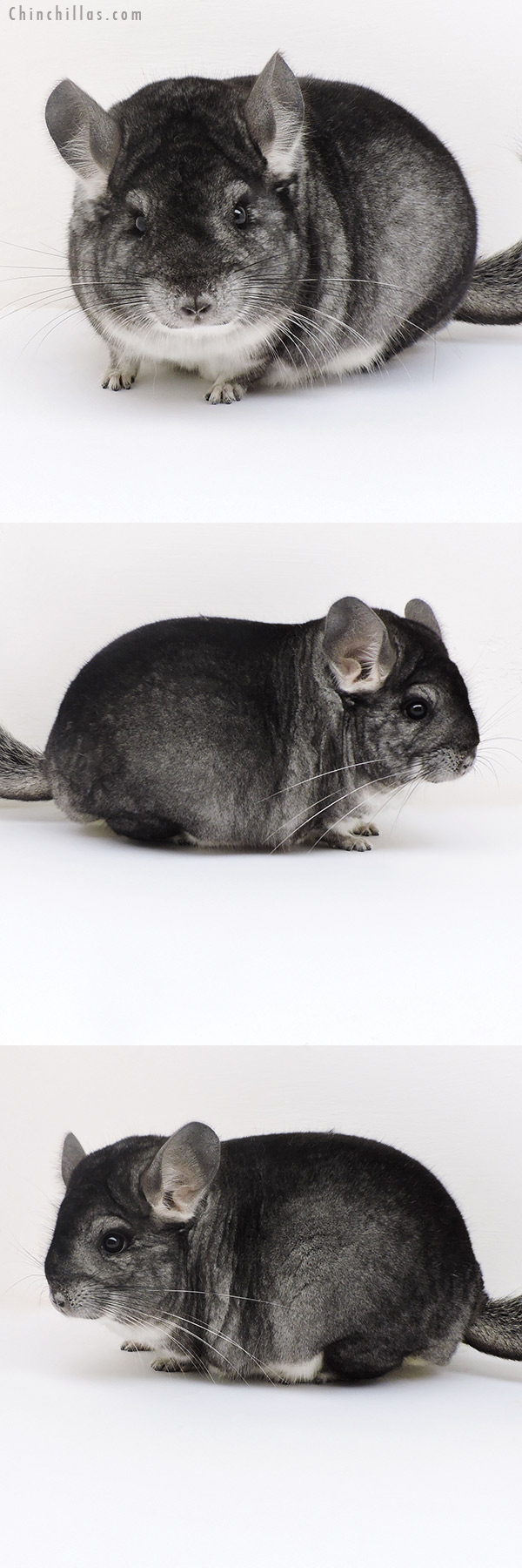 17131 Large Blocky Herd Improvement Quality Standard Male Chinchilla