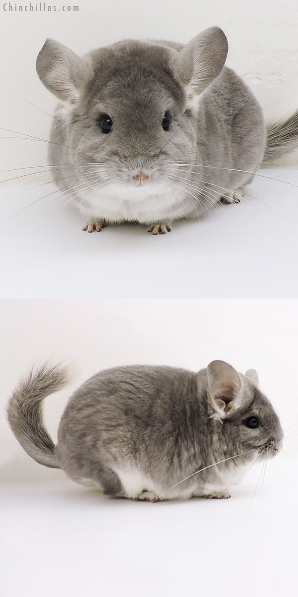 17137 Large Blocky Premium Production Quality Violet Fading White Female Chinchilla