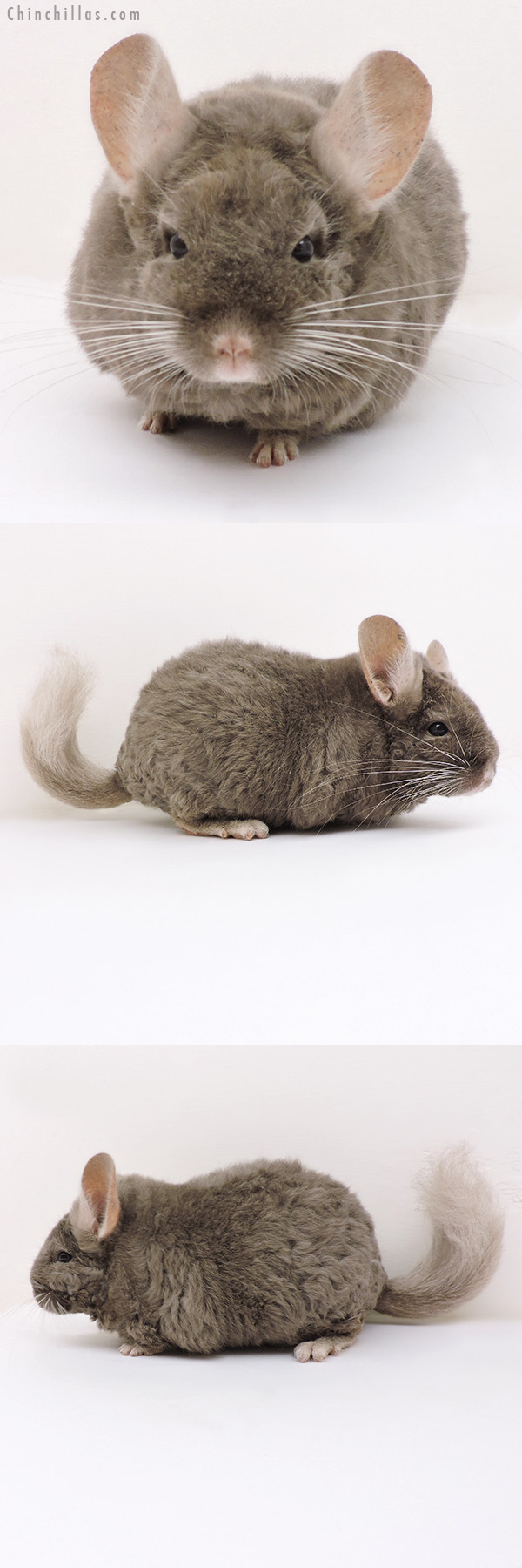 17177 Large Full Locken Tan Female Chinchilla