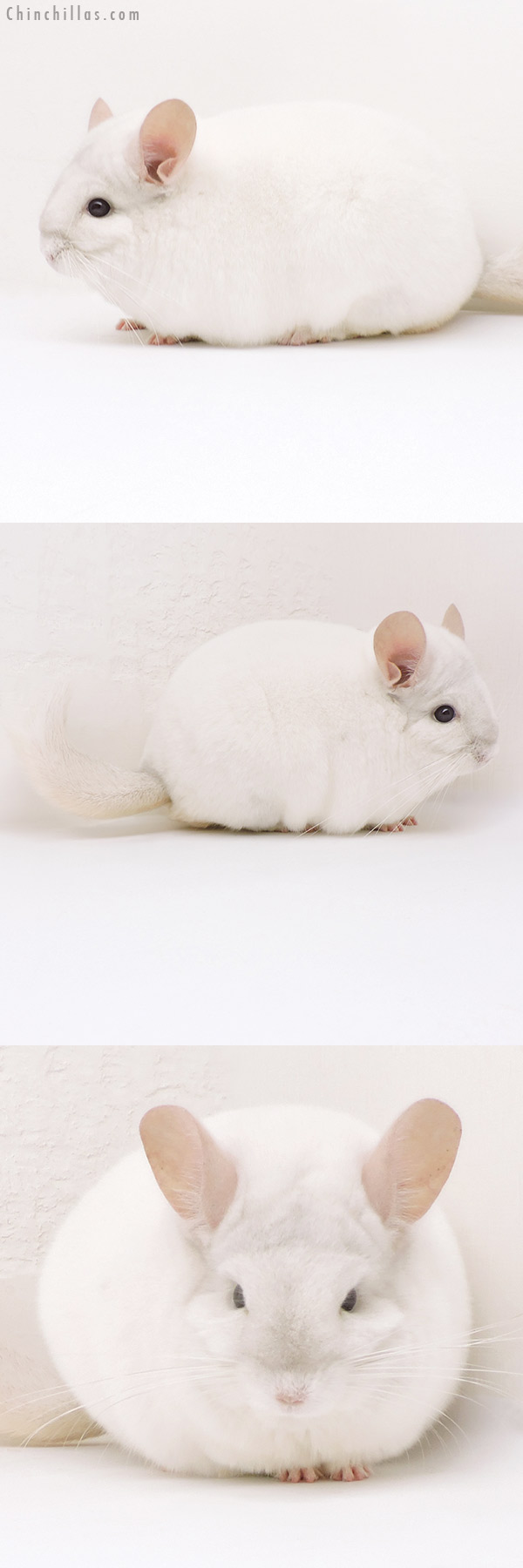 17339 Blocky Premium Production Quality Pink White Female Chinchilla