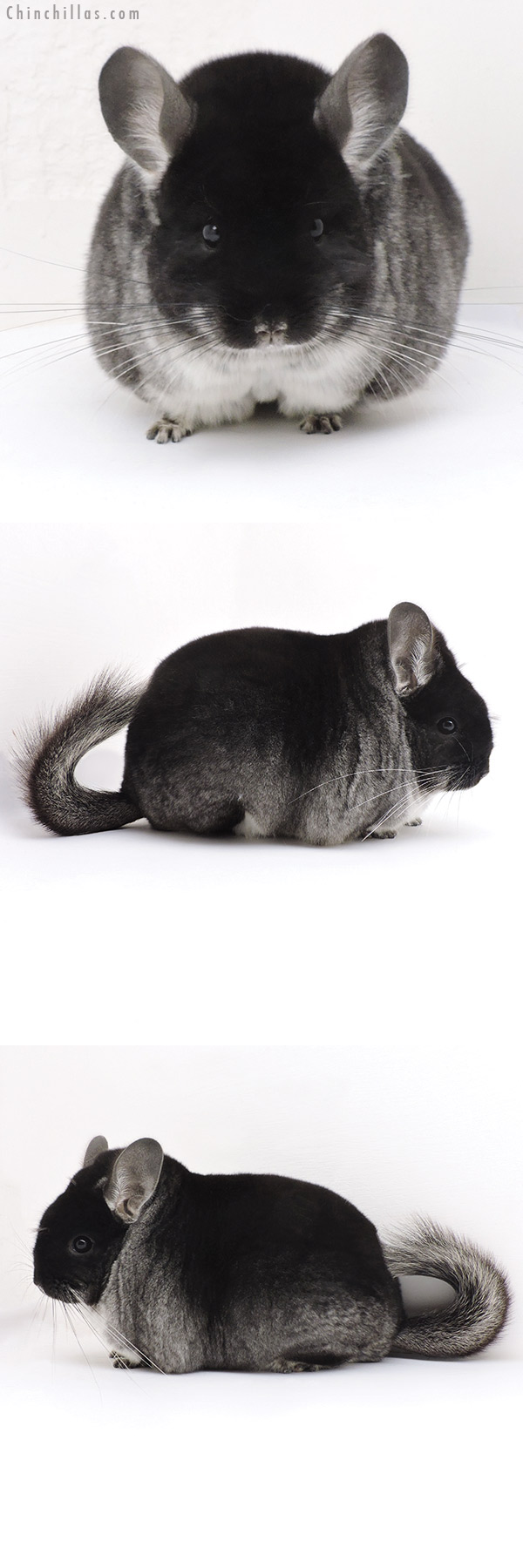 17365 Large Blocky Premium Production Quality Black Velvet Female Chinchilla