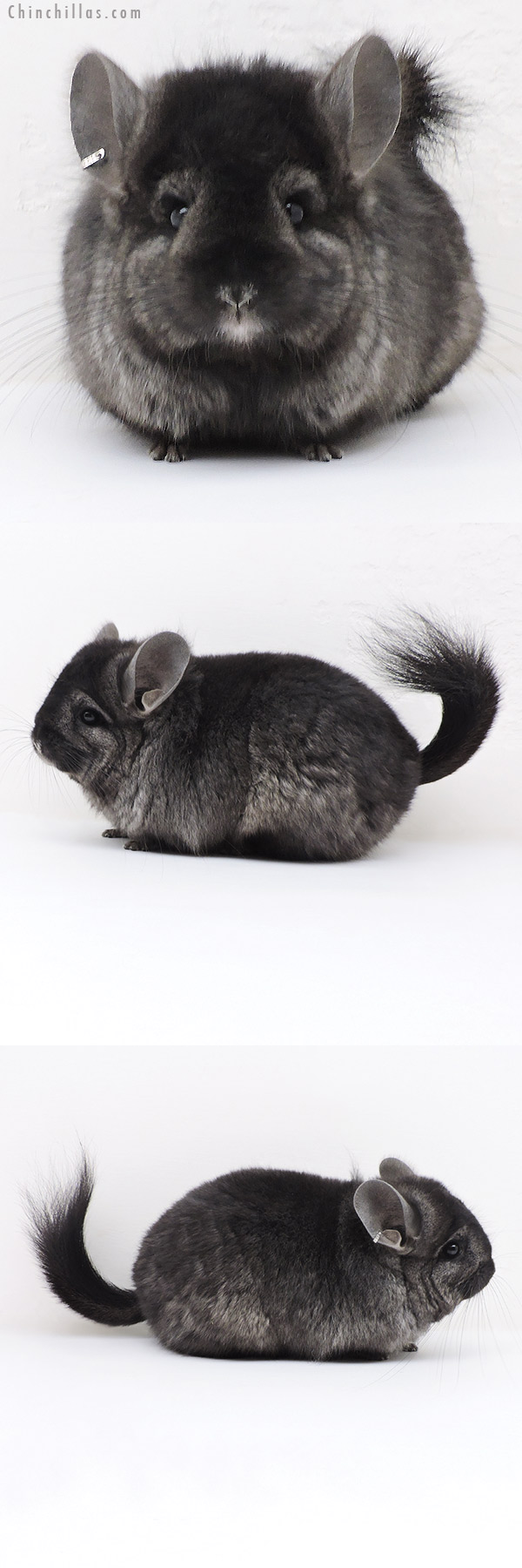 17369 Ebony ( Locken Carrier ) CCCU Royal Persian Angora Female Chinchilla