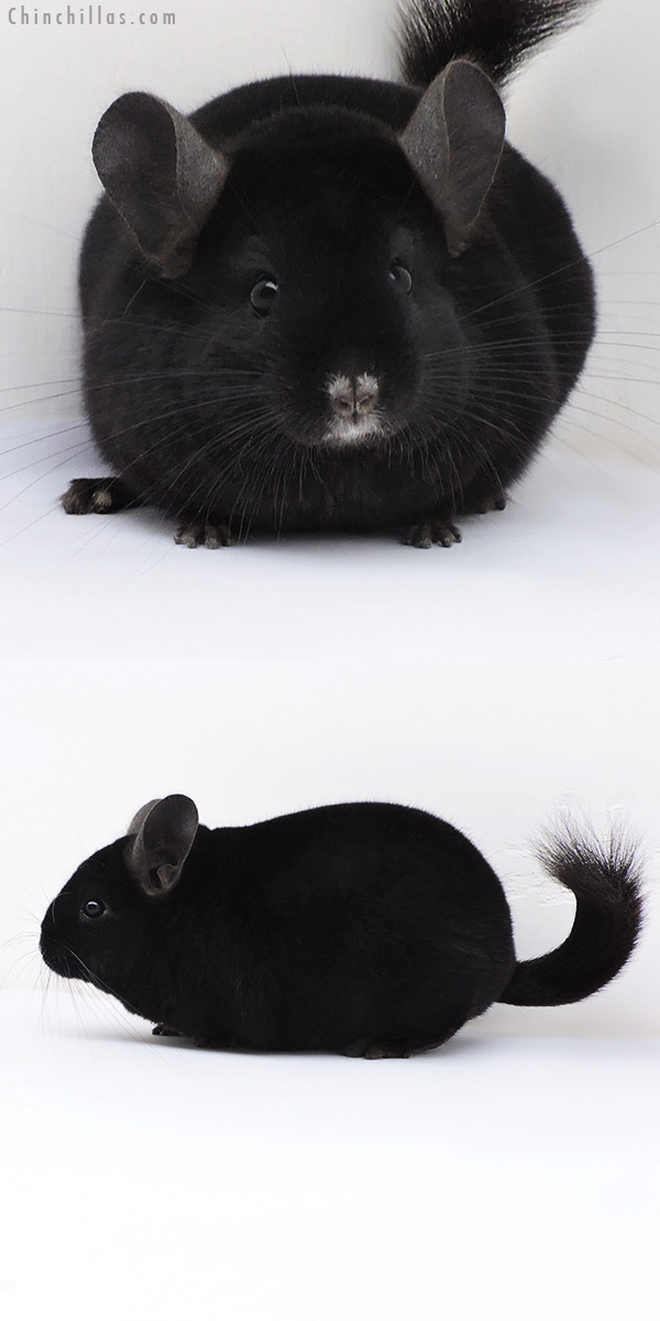 17397 Show Quality Ebony Female Chinchilla