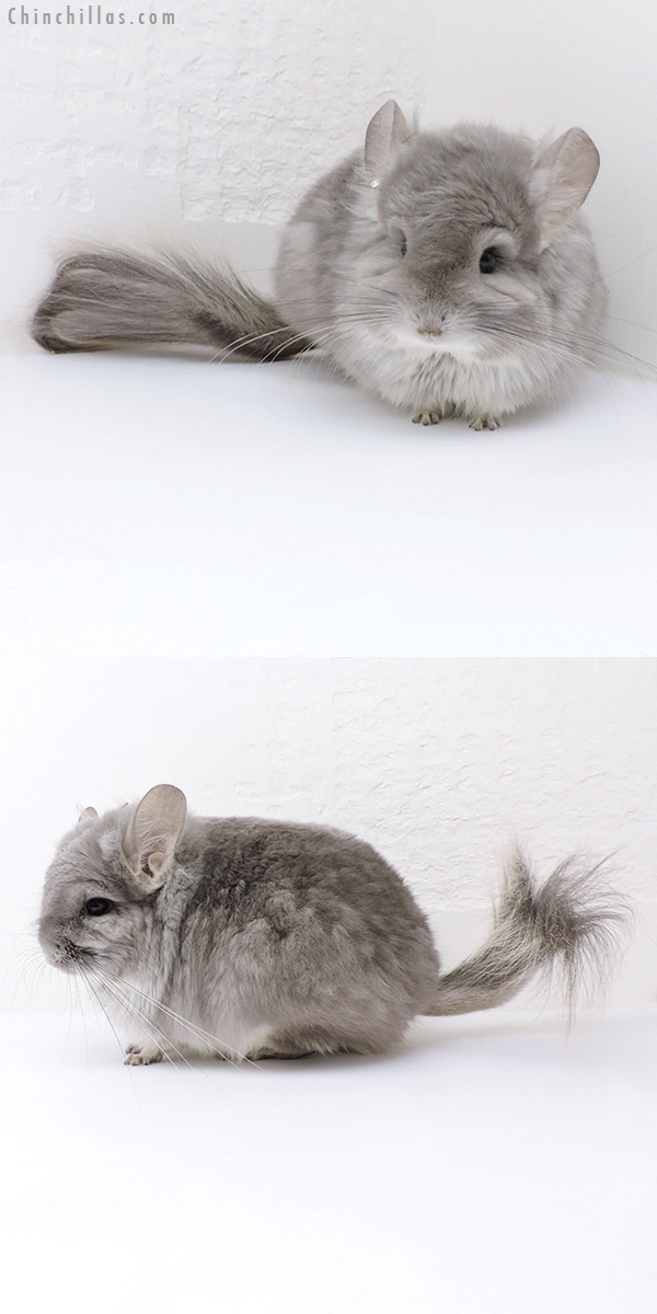 18026 Exceptional Violet CCCU Royal Persian Angora Male Chinchilla