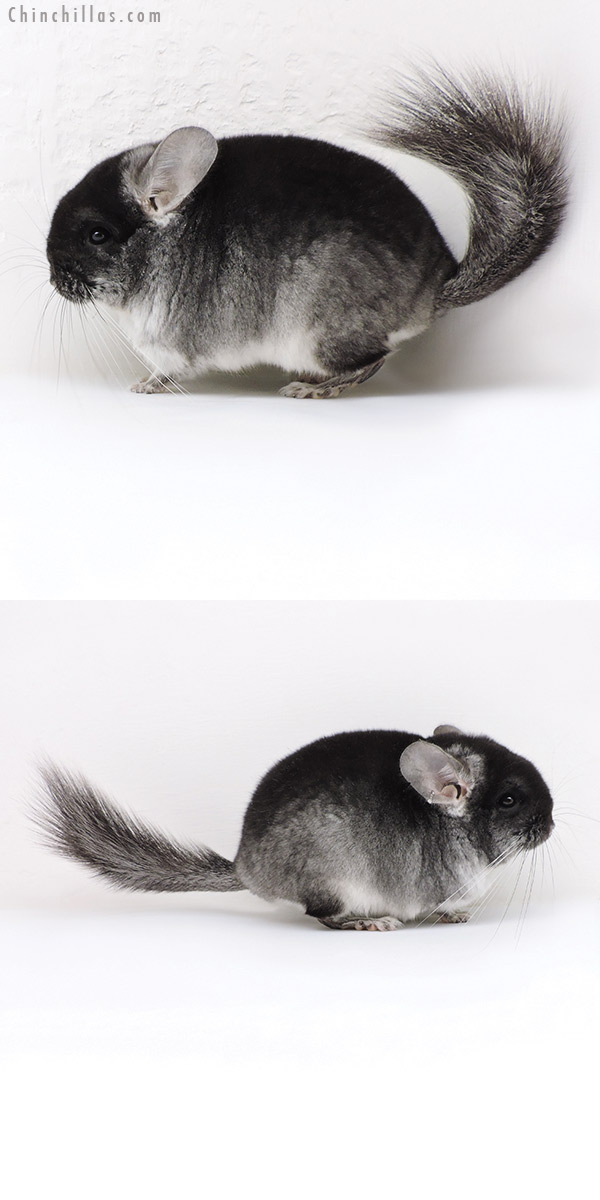18040 Brevi Type Black Velvet ( Violet & CCCU Royal Persian Angora Carrier ) Male Chinchilla
