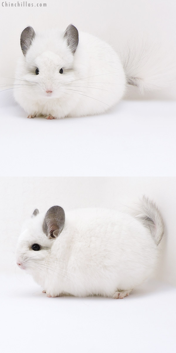18054 Exceptional Predominantly White CCCU Royal Persian Angora Male Chinchilla