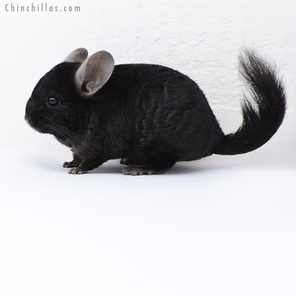 18073 Ebony ( CCCU Royal Persian Angora & Locken Carrier ) Male Chinchilla
