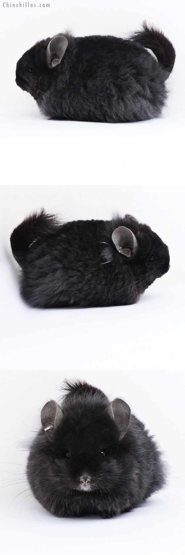 18082 Exceptional Ebony G2 CCCU Royal Imperial Angora Male with Lion Mane Chinchilla