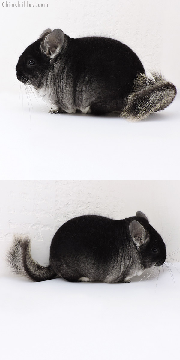 18156 Large Blocky Premium Production Quality Black Velvet Female Chinchilla