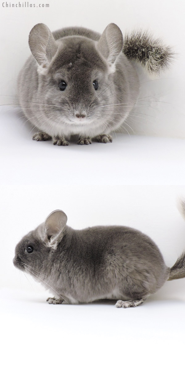 18209 Show Quality TOV Violet Female Chinchilla