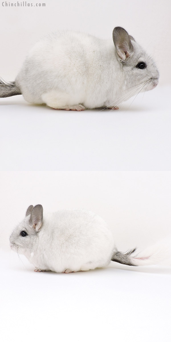 18240 Extra Large Premium Production Quality White Mosaic Female Chinchilla