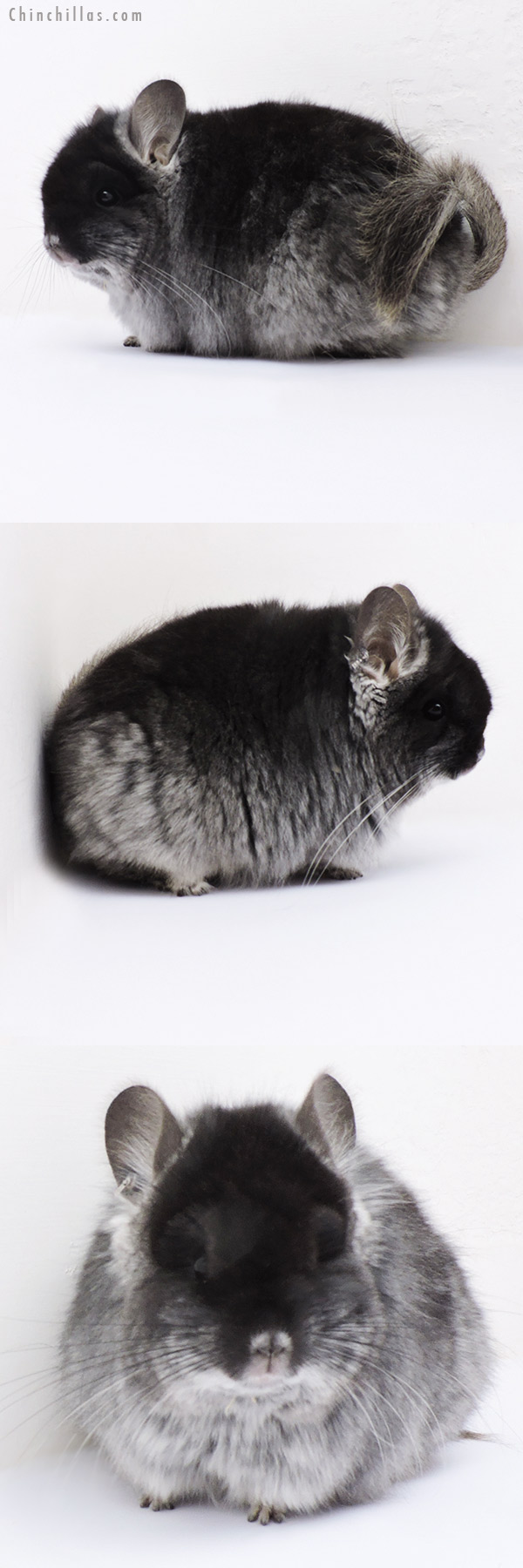 18280 Exceptional Brevi Type Black Velvet CCCU Royal Persian Angora Female Chinchilla