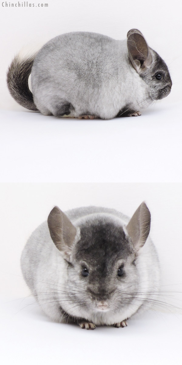 18287 Large Top Show Quality Ebony and White Mosaic Male Chinchilla
